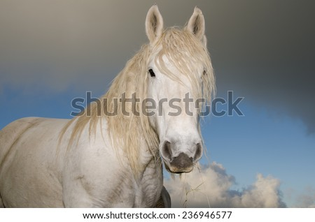 Face of white Horse on the field against a stormy sky  - stock photo