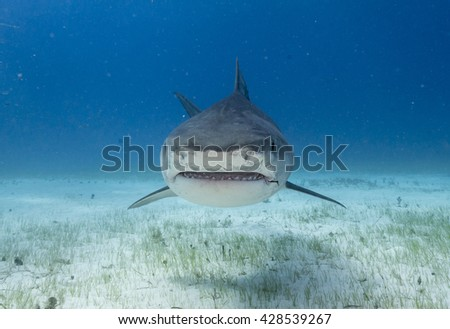 Face on view of a Tiger shark swimming in shallow water during a shark dive in the Bahamas.  - stock photo