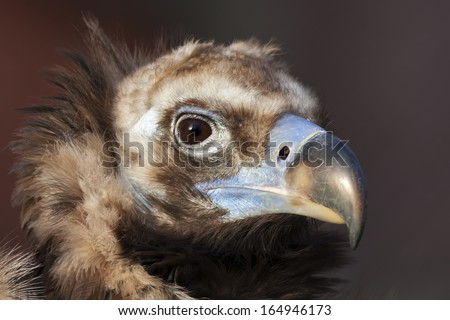 Face portrait of a Cinereous Vulture (Aegypius monachus), is also known as the Black Vulture, Monk Vulture, or Eurasian Black Vulture. The largest true bird of prey in the world. - stock photo