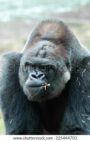 Face portrait of a gorilla male - stock photo