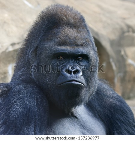 Face portrait of a gorilla male, severe silverback, on rock background. Menacing side look of the great ape, the most dangerous and biggest monkey of the world. The chief of a gorilla family.  - stock photo