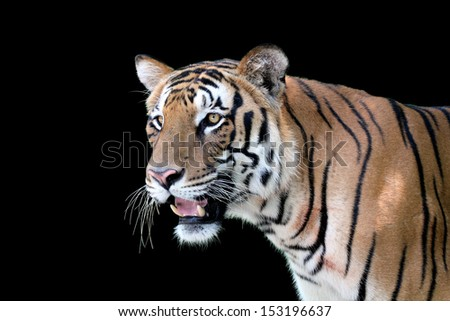 Face profile of a majestic white royal bengal tiger with aggressive look isolated on black - stock photo