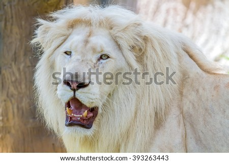 Face the lion staring with ferocious. - stock photo