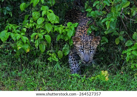Face to Face with a wild Leopard - stock photo