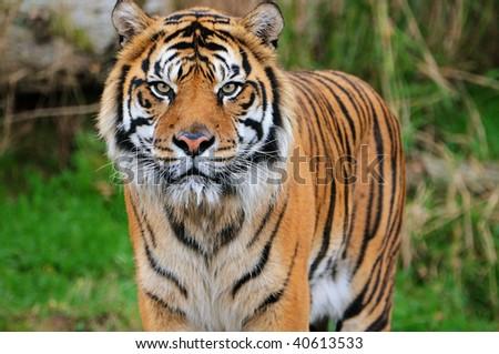 Face to face with an adult Sumatran tiger - stock photo
