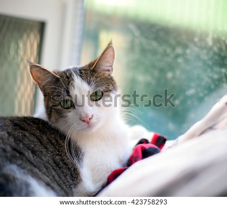 Facial Portrait of Beautiful Bi Color Brown White Tabby Domestic Short Cat with Striking Green Eyes with hand holding a toy Looking Directly Into Camera - stock photo