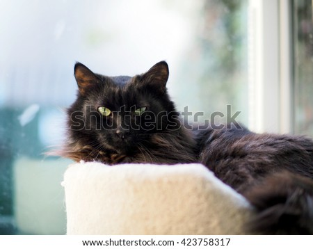 Facial Portrait of Beautiful Brown Black Domestic Long Hair Main Coon Mix Cat Looking at Camera while laying in cat bed - stock photo
