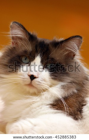 Facial Portrait of Regal Long Haired Bi Color Brown White Ragdoll Cat with Blue Eyes and Black Button Nose Laying on Floor Looking into Camera - stock photo