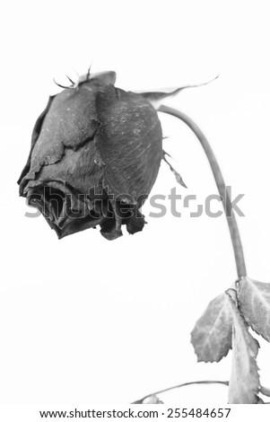Faded rose on om black-white tone - stock photo