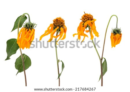 fading cosmos flowers isolated on white background - stock photo