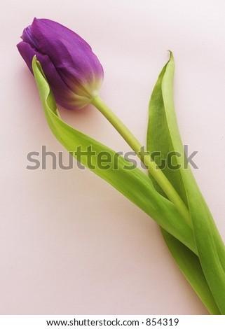 Fainting Tulip - stock photo