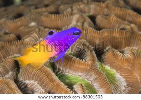 Fairy Basslet (Gramma loreto) on a tropical coral reef off the island of Roatan, Honduras. - stock photo