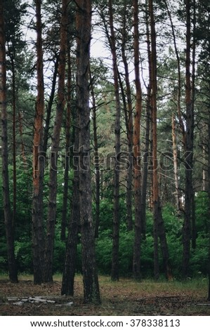 Fairy tale fir tree forest. Pine Forest. A rural road through a forest full of trees. Forest in the morning. Trees in a green forest. - stock photo