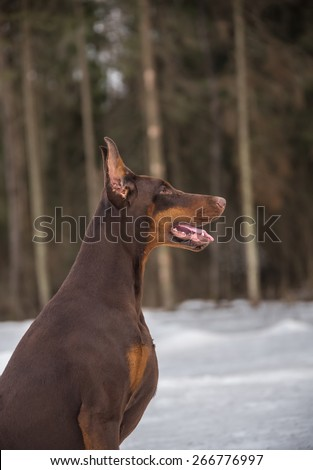 Faithful doberman dog in the forest - stock photo