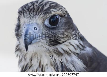 Falcon, Al-Ain, United Arab Emirates - stock photo