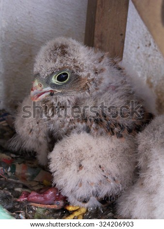 falcon chick eating mouse - stock photo