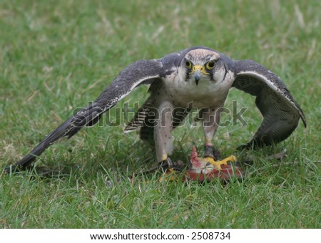 Falcon covering its meal - stock photo