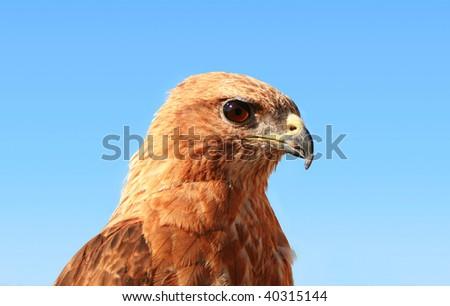Falcon on background blue sky - stock photo