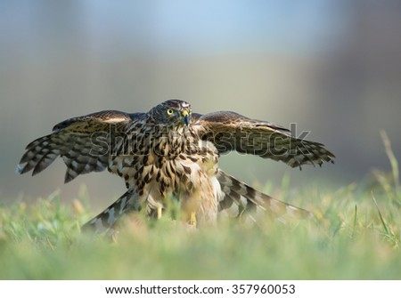 Falcon sitting on its prey, feeding, looking for danger, clean background, Czech Republic, Europe - stock photo
