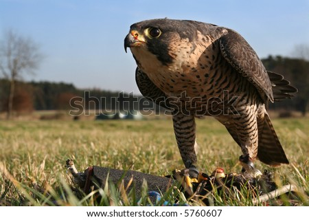 Falcon, training with a lure - stock photo