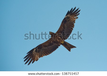 Falcon with outstretched wings in front of blue sky - stock photo