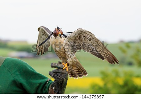 Falconry - stock photo