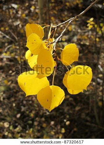 Fall Aspen - stock photo