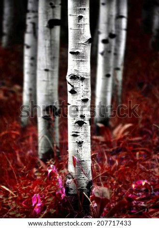 Fall Aspen Birch Trees - stock photo