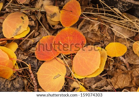 fall aspen leaves with red orange and yellow color on the ground with older brown leaves - stock photo