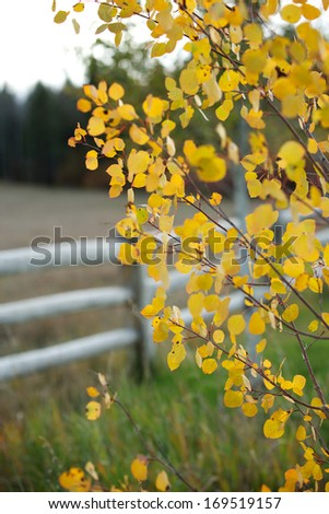 Fall Aspen Yellow Leaves on Ranch - stock photo