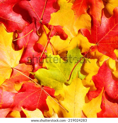 Fall. Autumn Maple Leaves background. Colored leafs.  - stock photo
