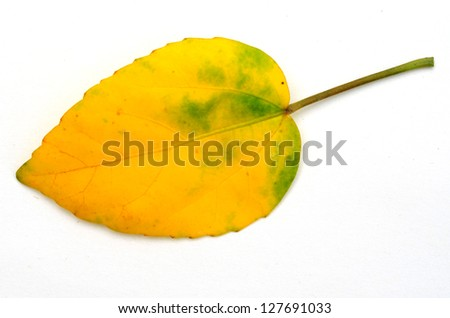 fall leaf isolated on white - stock photo