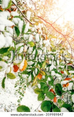 Fall leaves branch with snow on it. Early winter. Autumn forest. Bright light. Nature. - stock photo