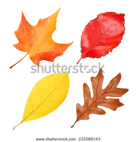 Fall Leaves Collection isolated on white. Autumn - stock photo