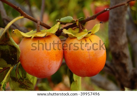 Fall season: ripe kaki on branch - stock photo