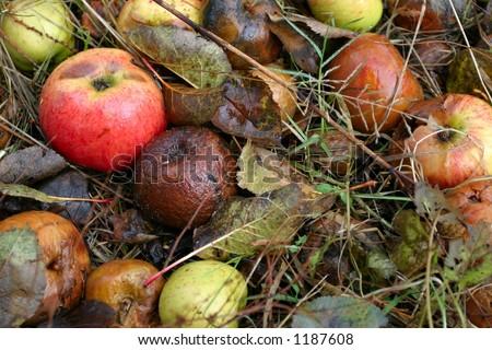 fallen apples - stock photo