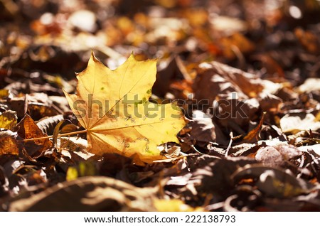 Fallen autumn maple leaf lying on the ground at sunset with space for text - stock photo