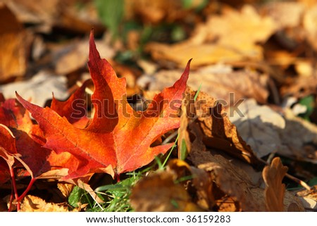 Fallen bright maple leaf, autumnal background - stock photo