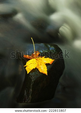Fallen broken yellow maple leaf.  Autumn castaway on wet slipper stone in cold blurred water of mountain river.   - stock photo