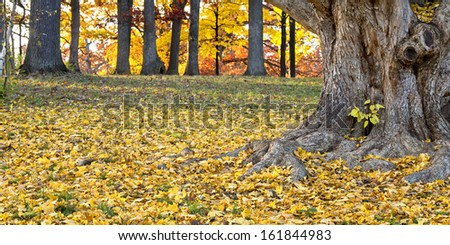 Fallen maple leaves add their color to the autumn landscape at The Morton Arboretum in Lisle, Illinois. - stock photo