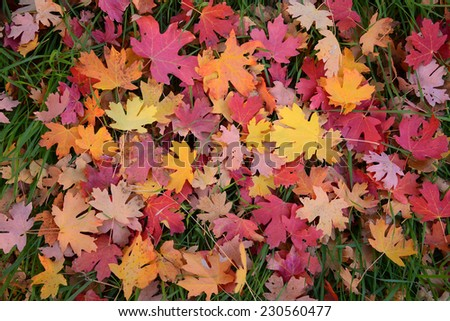 fallen maple leaves on a ground at zion national park - stock photo