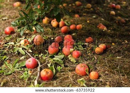 Fallen red apples - stock photo