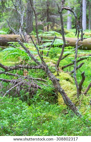 Fallen trees overgrown with moss and lichen in the forest - stock photo