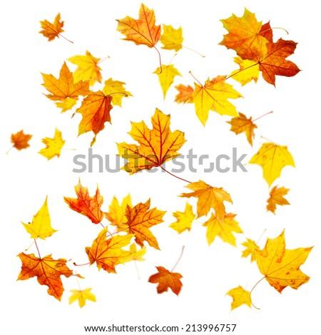 Falling autumn maple leaves isolated on white - stock photo