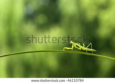 Falling branch of the mantis - stock photo