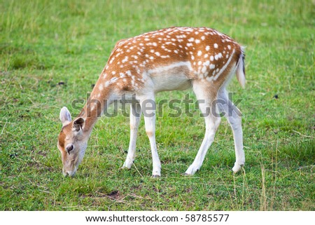 fallow deer - stock photo