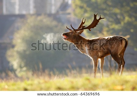 Fallow Deer Breath - stock photo