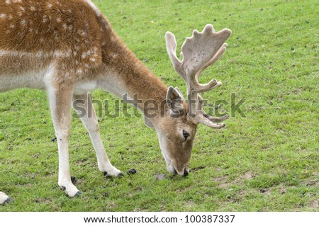 Fallow Deer Buck - stock photo