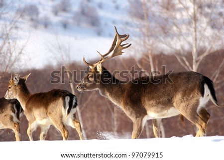 Fallow deer buck and its calf, a one year male with little antlers on a very cold winter day. The deer stag seems to protect its herd. - stock photo
