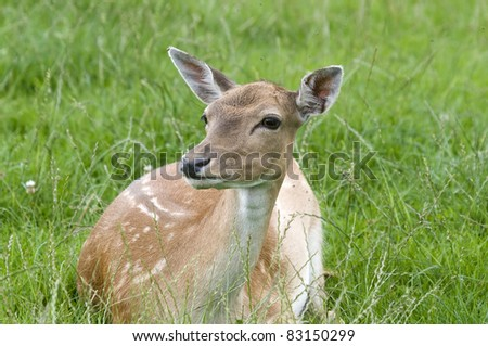Fallow Deer Doe - stock photo